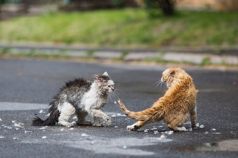stray cats fighting on street serious fight fight bite wound in cats