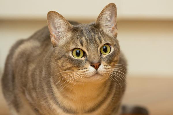 australian mist cat sitting in hallway looking ahead