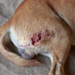 Wounds in dogs and cats