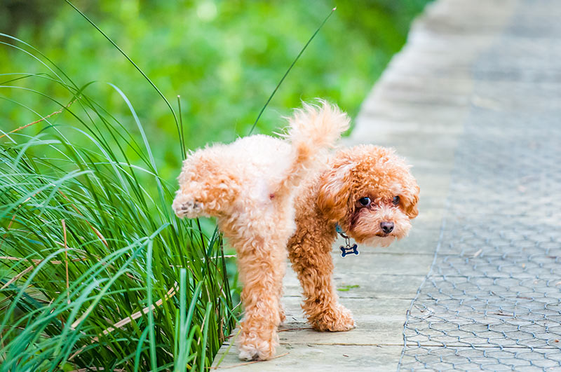 cavoodle dog urinating in park urine marking. Polyuria in dogs, polydipsia in dogs, frequent urination in dogs, excessive thirst in dogs, polyuria in cats, polydipsia in cats, frequent urination in cats, excessive thirst in cats