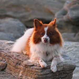 benji german spitz on rock