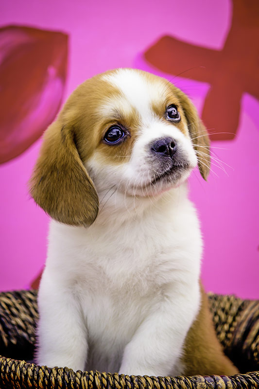 beaglier puppy in basket