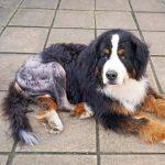 Understanding your dog's hip surgery