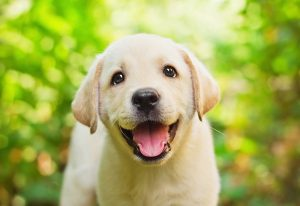 happy labrador puppy iwth a big smile on its face