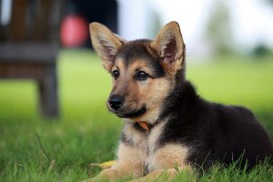 German shepherd puppy looking alert but interested on a warm summer day
