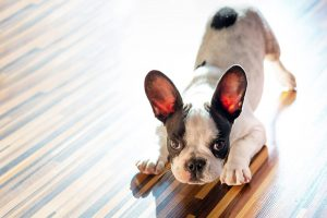 French bulldog puppy at home playbow puppy wanting to play