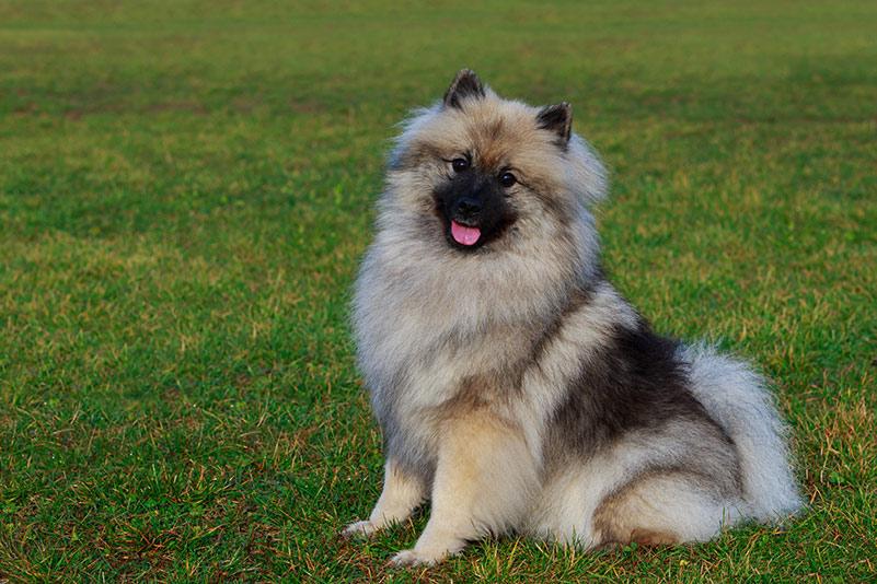 keeshond sitting on green grass