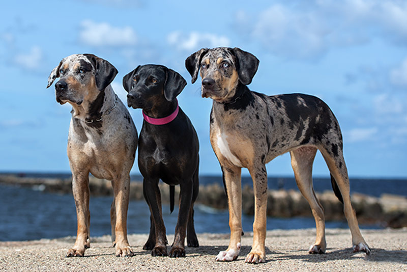 three catahoula dogs posing together in the beach Louisiana Catahoula Leopard Dog