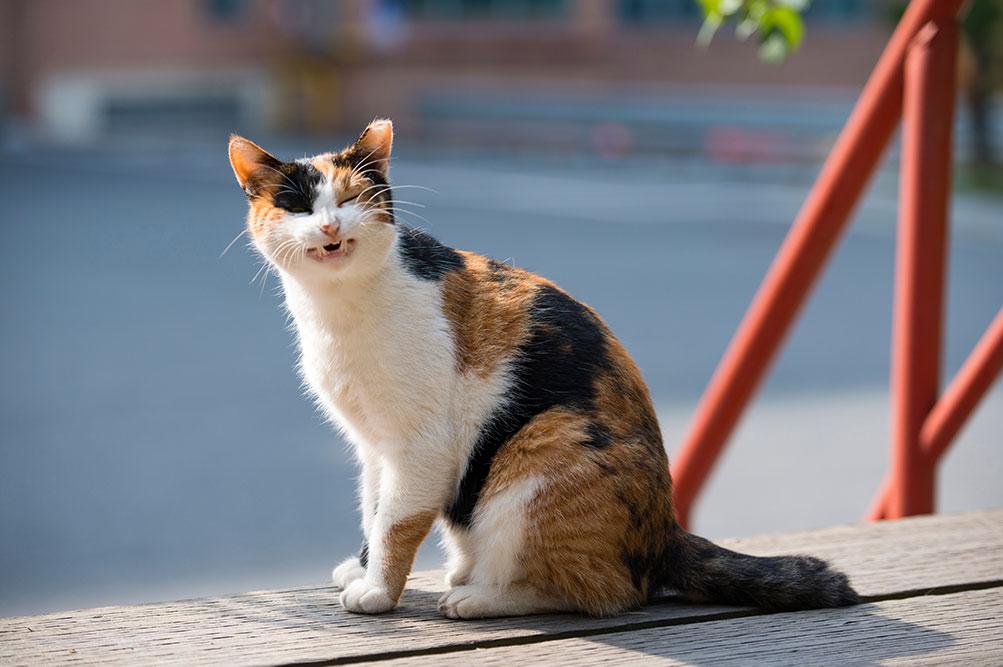 cat with allergy sneezing