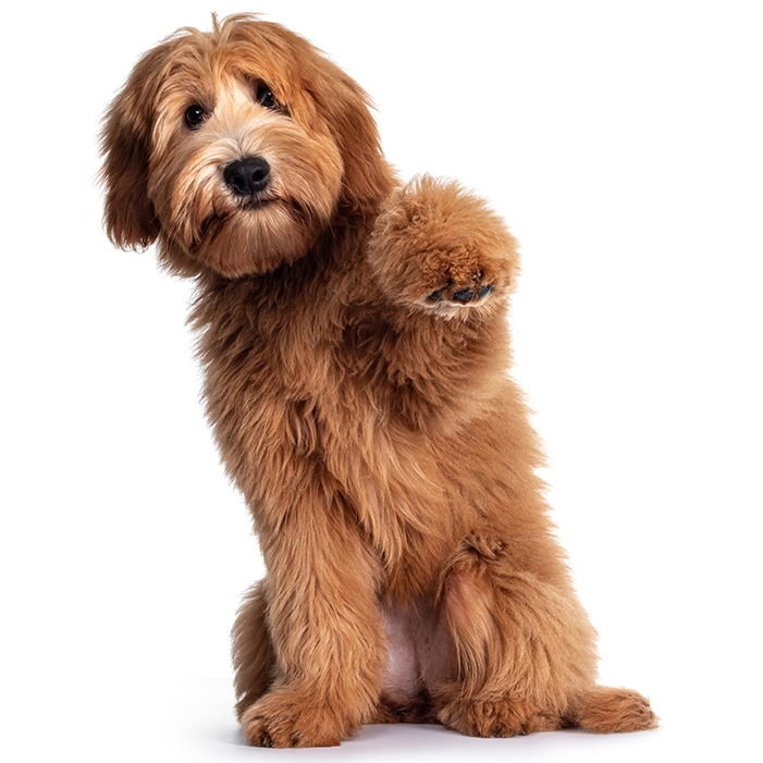 Small Dog Breeds Types Of Small Dogs Breed Information