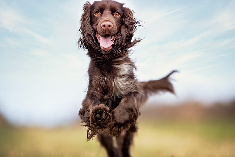 field spaniel running happily in open air_