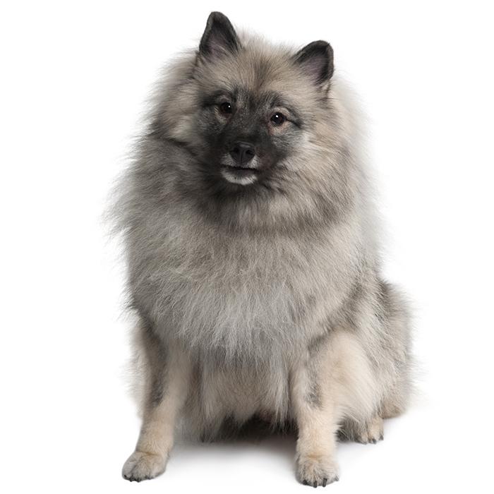 Keeshond Dog Breed Information   Temperament & Health