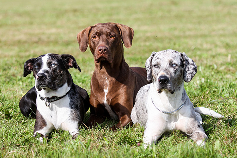 three catahoula dogs posing together in grass Louisiana Catahoula Leopard Dog
