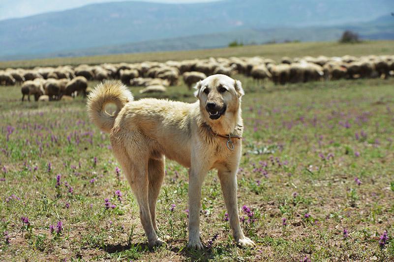 kangal dog in turkey at work shepherd dog