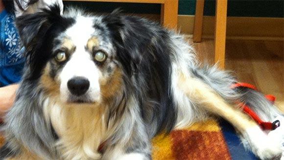 An Australian Shepherd affected with progressive retinal atrophy (PRA).