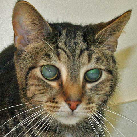 Cat with detached retina - Photo copyright: Cuyahoga Falls Veterinary Clinic 3305 State Road, Cuyahoga Falls, OH 44223 Source: https://pictures-of-catsorgblog.pictures-of-cats.org/2012/04/picture-of-cat-with-retinal-detachment.html