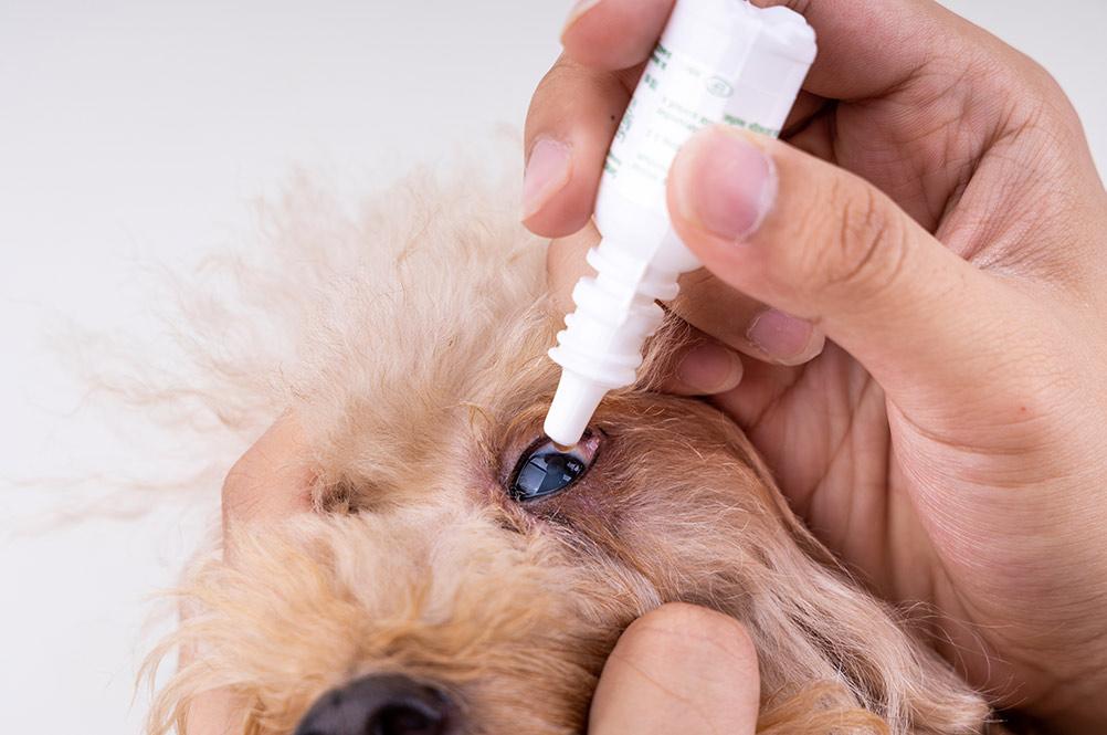 applying eye drop onto dog eye with cataract problem - bow wow meow pet insurance