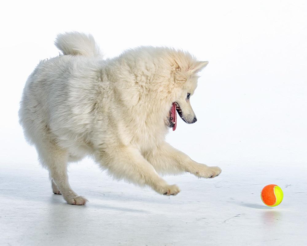 American Eskimo dog studio shot playing with ball
