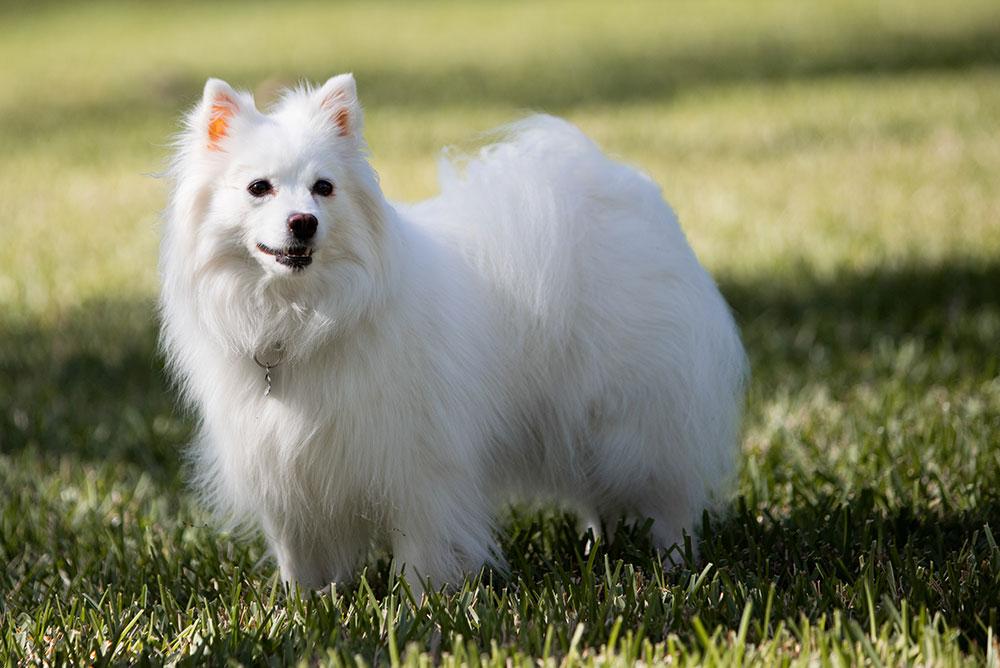 American Eskimo White Dog