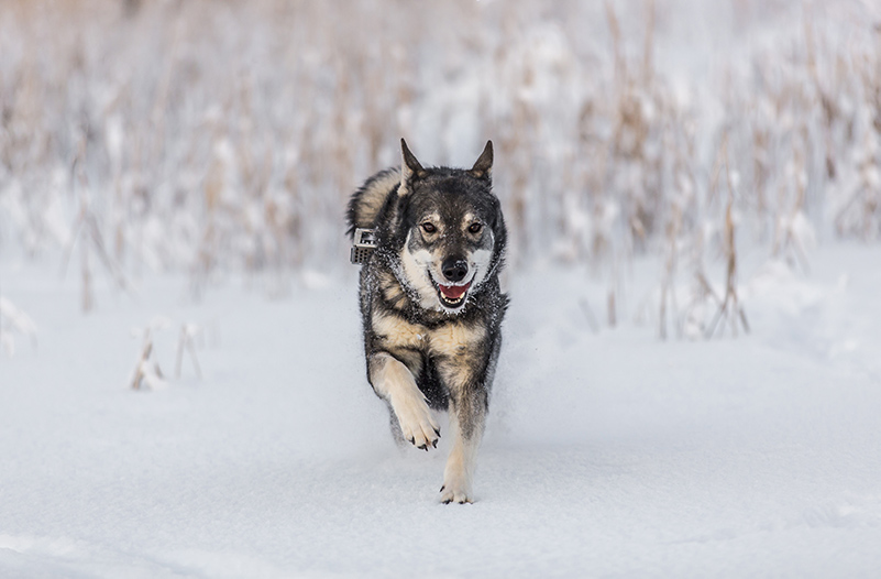 Elkhound in winter landscape