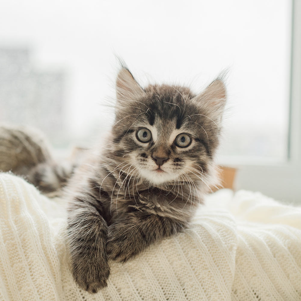 kitten on bed looking at camera maine coon